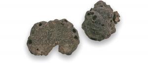 truffe-melanosporum