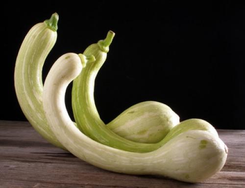 Une courgette trompette au petit goût de noisette ? Découvrez la « Zucchina Trombetta» !