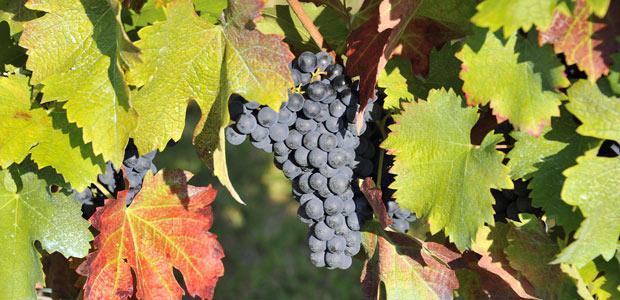 raisin vigne