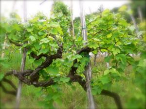 vigne-glera-prosecco
