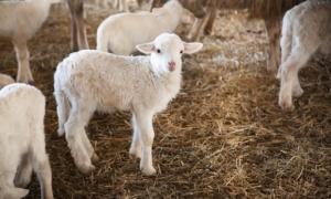 agnello-pecora-530ettari-2000x1200